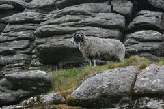 Καλυμμένα πρόβατα Στοκ φωτογραφία με δικαίωμα ελεύθερης χρήσης