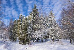 καλυμμένα φρέσκα δέντρα χι&omi Στοκ εικόνα με δικαίωμα ελεύθερης χρήσης