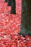 Καλυμμένοι λειχήνα κορμοί δέντρων και κόκκινα φύλλα Στοκ Εικόνες