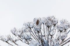 Καλυμμένοι παστινάκη πάγος και χιόνι αγελάδων μετά από μια παγωμένη βροχή Στοκ εικόνες με δικαίωμα ελεύθερης χρήσης