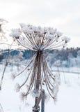 Καλυμμένοι παστινάκη πάγος και χιόνι αγελάδων μετά από μια παγωμένη βροχή Στοκ φωτογραφία με δικαίωμα ελεύθερης χρήσης