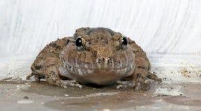 Καλυμμένος βάτραχος Limnonectes gyldenstolpel, όμορφος βάτραχος, βάτραχος στους βράχους Στοκ φωτογραφίες με δικαίωμα ελεύθερης χρήσης