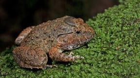 Καλυμμένος βάτραχος Limnonectes gyldenstolpel, όμορφος βάτραχος, βάτραχος στο βρύο Στοκ εικόνα με δικαίωμα ελεύθερης χρήσης