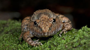 Καλυμμένος βάτραχος Limnonectes gyldenstolpel, όμορφος βάτραχος, βάτραχος στο βρύο Στοκ Εικόνες