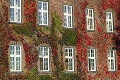 Καλυμμένος κισσός τοίχος με τα παράθυρα Στοκ φωτογραφίες με δικαίωμα ελεύθερης χρήσης