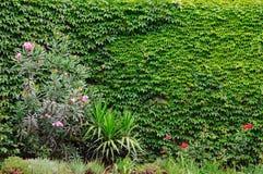 καλυμμένος τοίχος κισσώ&n στοκ εικόνα με δικαίωμα ελεύθερης χρήσης