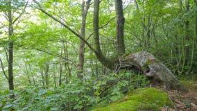 καλυμμένο δέντρο βρύου Στοκ Φωτογραφίες