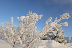 Καλυμμένο θάμνοι Hoarfrost Στοκ εικόνες με δικαίωμα ελεύθερης χρήσης