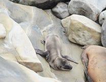 Καλυμμένο κουτάβι λιονταριών θάλασσας στον όρμο της Λα Χόγια στο Σαν Ντιέγκο, Καλιφόρνια Στοκ Εικόνες