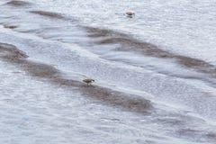Καλυμμένο να προμηθεύσει με ζωοτροφές αργυροπουλιών at low tide στον ποταμό θλ*ταμαρ Στοκ φωτογραφία με δικαίωμα ελεύθερης χρήσης