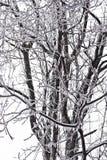Καλυμμένο πάγος δέντρο ξύλων καρυδιάς στοκ φωτογραφίες με δικαίωμα ελεύθερης χρήσης