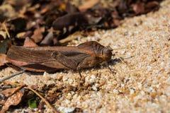 Καλυμμένο grasshopper στο αμμώδες χώμα Στοκ φωτογραφία με δικαίωμα ελεύθερης χρήσης