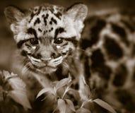καλυμμένο leopard Στοκ φωτογραφίες με δικαίωμα ελεύθερης χρήσης