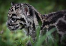 καλυμμένο leopard Στοκ Εικόνες