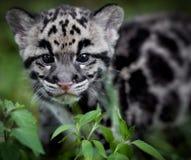 καλυμμένο leopard Στοκ Φωτογραφία