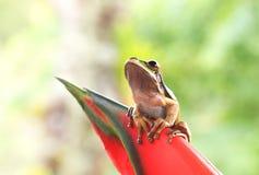 Καλυμμένο Treefrog Στοκ Φωτογραφία