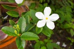 Καλλυντικό δέντρο φλοιών ή Inda, πορτοκαλί Jessamine, σατέν-ξύλο, άσπρο Στοκ Φωτογραφίες