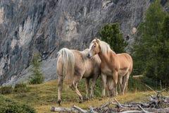 Καλλωπίζοντας άλογα κάστανων Στοκ Εικόνα