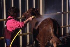 Καλλωπίζοντας βοοειδή στοκ εικόνες