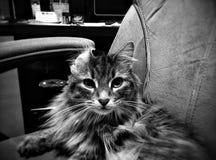 Καλλωπίζοντας γάτα με το διπλωμένο αυτί Στοκ Εικόνα