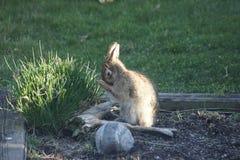 Καλλωπίζοντας κουνέλι λαγουδάκι Στοκ Εικόνα