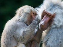 Καλλωπίζοντας baboon πίθηκοι Στοκ εικόνες με δικαίωμα ελεύθερης χρήσης