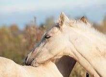 Καλλωπίζοντας foals πόνι στο λιβάδι Στοκ φωτογραφία με δικαίωμα ελεύθερης χρήσης