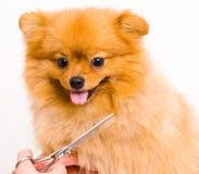 Καλλωπίζοντας pomeranian σκυλί Στοκ Φωτογραφίες