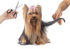 Καλλωπισμός σκυλιών τεριέ του Γιορκσάιρ Στοκ Φωτογραφίες