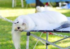 Καλλωπισμός σκυλιών στοκ φωτογραφίες με δικαίωμα ελεύθερης χρήσης