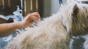 Καλλωπισμός του λευκού τεριέ δυτικών ορεινών περιοχών Καλλωπίζοντας άσπρα σκυλιά Μάδημα ενός παλαιού παλτού στα σκυλιά εστίαση ρη Στοκ εικόνες με δικαίωμα ελεύθερης χρήσης