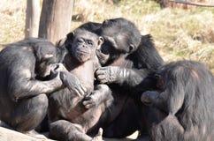 Καλλωπισμός chimps3 Στοκ φωτογραφία με δικαίωμα ελεύθερης χρήσης