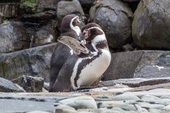 Καλλωπισμός Penguin Στοκ Φωτογραφίες