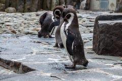 Καλλωπισμός Penguin Στοκ εικόνα με δικαίωμα ελεύθερης χρήσης