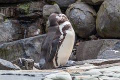 Καλλωπισμός Penguin Στοκ φωτογραφία με δικαίωμα ελεύθερης χρήσης