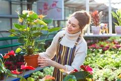 Καλός ευτυχής νέος κηπουρός γυναικών που επιλέγει το δοχείο λουλουδιών με τα anthuriums Στοκ εικόνα με δικαίωμα ελεύθερης χρήσης