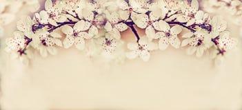 Καλό άνθος κερασιών, floral έμβλημα άνοιξης Στοκ φωτογραφία με δικαίωμα ελεύθερης χρήσης