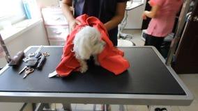 Καλό ελκυστικό μικρό σκυλί γυναικών vyterat groomer Άσπρο γαλλικό σκυλάκι σαλονιού μετά από να λούσει που τυλίγεται σε μια ρόδινη φιλμ μικρού μήκους
