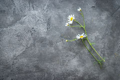 Καλό λουλούδι μαργαριτών, πρόσθετο διάστημα κειμένων, topview Στοκ Εικόνες