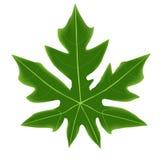 Καλό πράσινο papaya φύλλο Στοκ Φωτογραφία