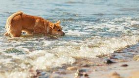Καλό σκυλί που παίζει υπαίθριο μόνο Στοκ Εικόνα