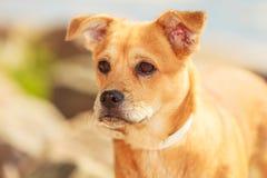 Καλό σκυλί που παίζει υπαίθριο μόνο Στοκ εικόνες με δικαίωμα ελεύθερης χρήσης