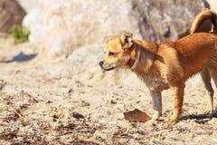 Καλό σκυλί που παίζει υπαίθριο μόνο Στοκ Φωτογραφίες