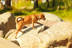 Καλό σκυλί που παίζει υπαίθριο μόνο Στοκ Φωτογραφία