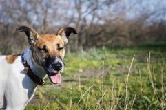 Καλό τεριέ αλεπούδων σκυλιών διασκέδασης εύθυμο σε έναν πράσινο χορτοτάπητα στοκ φωτογραφίες με δικαίωμα ελεύθερης χρήσης