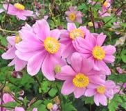 Καλό Anemone Japonica ανθίζει επίσης γνωστός ως Rosenschale Στοκ εικόνα με δικαίωμα ελεύθερης χρήσης