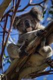Καλό koala Στοκ εικόνα με δικαίωμα ελεύθερης χρήσης