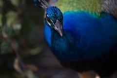 Καλό Peacock Στοκ Εικόνες