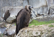καλύτερη στέπα θηραμάτων nipalensis αετών πουλιών aquila rapax Καστανόξανθος αετός Στοκ εικόνες με δικαίωμα ελεύθερης χρήσης