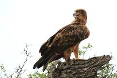 καλύτερη στέπα θηραμάτων nipalensis αετών πουλιών aquila rapax Στοκ εικόνες με δικαίωμα ελεύθερης χρήσης
